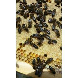 Inicio Nucleo de abejas - Material vivo Se reservan núcleos - enjambres Langstroth para primavera 2021 (aprox. mayo/junio), segú